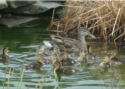 Duck Habitat Project at Southwestern Classical Academy in Flint
